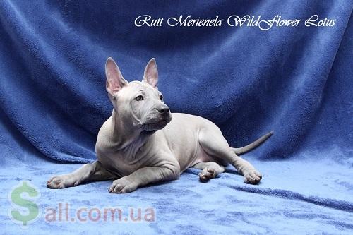 Фото продам щенков Тайского Риджбека