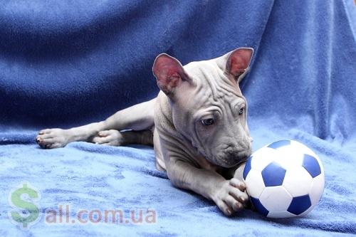 продам щенков Тайского Риджбека