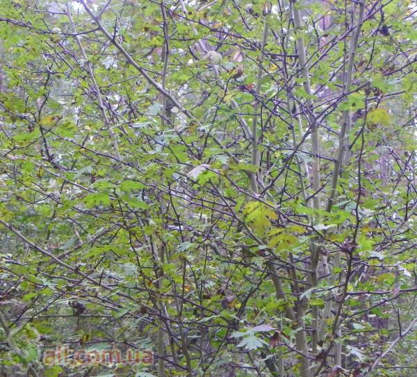 Живые изгороди. Саженцы сосны, берёзы, дуба, клена, липы, барбариса,тёрна Комнатные растения